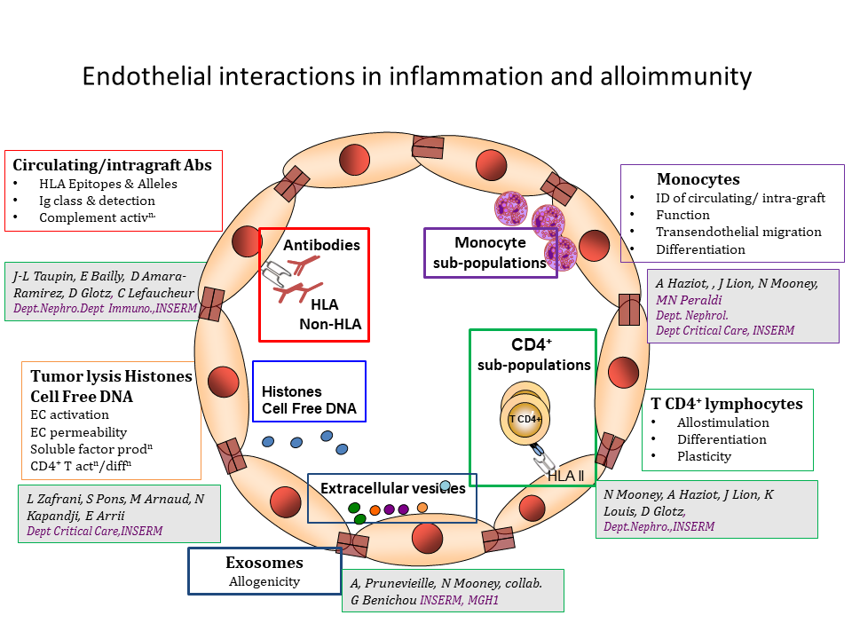 3 : Endothelium, Inflammation et Allogenicity